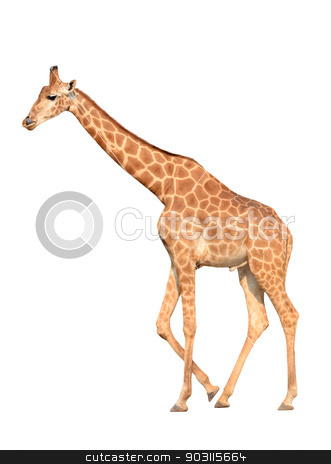 giraffe isolated stock photo, giraffe isolated on white background by anankkml