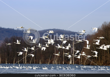 Tundra Swans Flying From Lake stock photo, A flock of Tundra Swans fly over a lake with swans swimming in the water.  by Delmas Lehman