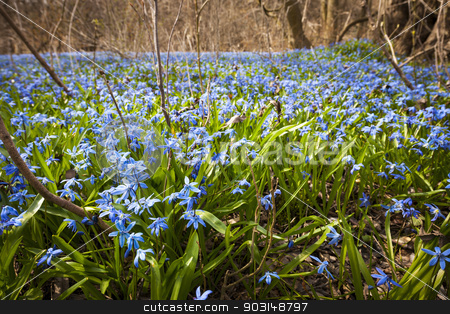 Spring blue flowers glory-of-the-snow stock photo, A carpet of early spring blue flowers glory-of-the-snow blooming in abundance on forest floor. Ontario, Canada. by Elena Elisseeva