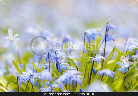 Spring blue flowers glory-of-the-snow stock photo, Spring background with early blue flowers glory-of-the-snow and copy space for text by Elena Elisseeva