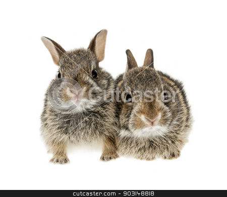Two baby bunny rabbits stock photo, Portrait of two baby wild cottontail rabbits isolated on white background by Elena Elisseeva