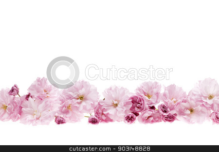 Cherry blossoms flower border stock photo, Row of cherry blossom flowers as flower border with copy space isolated on white background by Elena Elisseeva