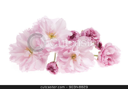 Cherry blossoms isolated stock photo, Pink cherry blossom flowers close up isolated on white background by Elena Elisseeva