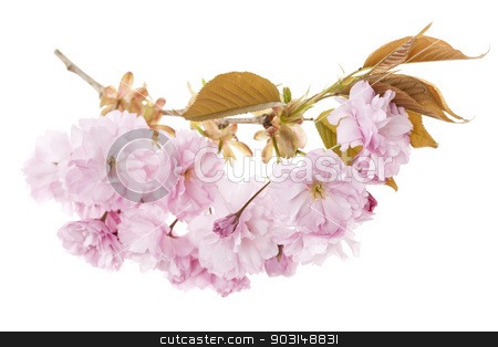Cherry blossoms on branch stock photo, Branch with pink cherry blossom flowers isolated on white background by Elena Elisseeva
