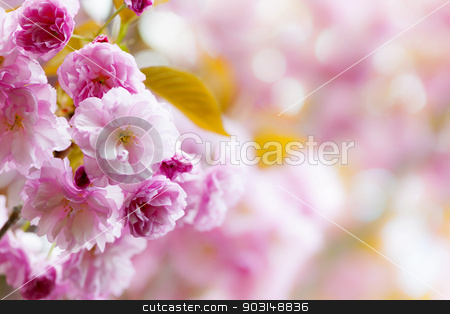Pink cherry blossoms background stock photo, Pink spring background with cherry blossom flowers on flowering tree branch blooming in orchard by Elena Elisseeva