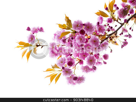 Branch with cherry blossoms stock photo, Branch with pink cherry blossom flowers isolated on white background by Elena Elisseeva