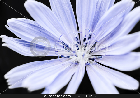 Chicory flower macro stock photo, Macro closeup on blue chicory flower with black background by Elena Elisseeva