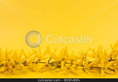 Yellow spring background with forsythia branch stock photo, Flowers of blooming forsythia branch on bright yellow background with copy space by Elena Elisseeva