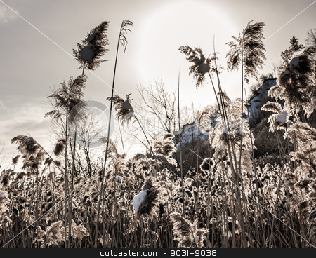 Backlit winter reeds stock photo, Winter scene with backlit dry reeds covered in snow by Elena Elisseeva