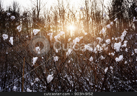 Setting sun in winter forest stock photo, Setting sun shining through branches of bare trees in winter forest covered with snow by Elena Elisseeva