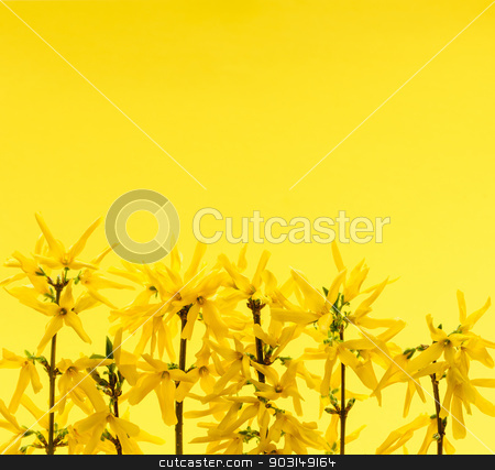 Yellow background with forsythia flowers stock photo, Spring yellow background with fresh forsythia flowers by Elena Elisseeva