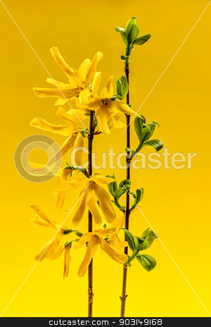 Spring forsythia flowers on yellow background stock photo, Spring forsythia branches with flowers and green leaves on yellow background by Elena Elisseeva