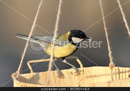 great tit eating seeds stock photo, great tit ( parus major ) eating seeds at feeder by coroiu octavian