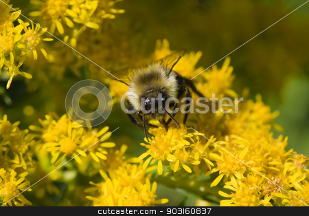 Golden Northern Bumblebee stock photo, Golden Northern Bumblebee collecting pollen on a yellow flower. by Joseph Fuller