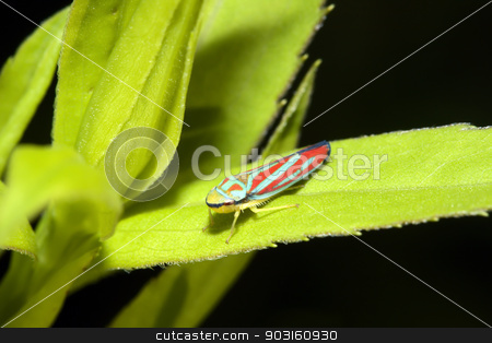 Redbanded Leafhopper stock photo, Redbanded leafhopper (Graphocephala coccinea) on a leaf. by Joseph Fuller