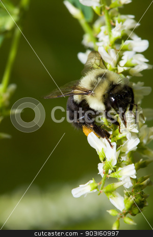 Golden Northern Bumblebee. stock photo, Golden Northern Bumblebee on a white flower. by Joseph Fuller