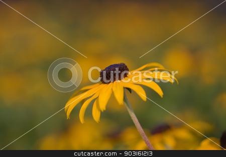 Black-eyed Susan (Rudbeckia hirta) stock photo, Black-eyed susan flower (Rudbeckia hirta), native to North America. by Joseph Fuller