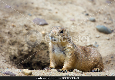 Prairie dog  stock photo, Prairie dog  standing at attention by it's den. by Joseph Fuller