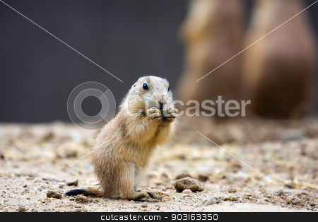 Prairie dog eating stock photo, Prairie dog eating stopping for a snack. by Joseph Fuller