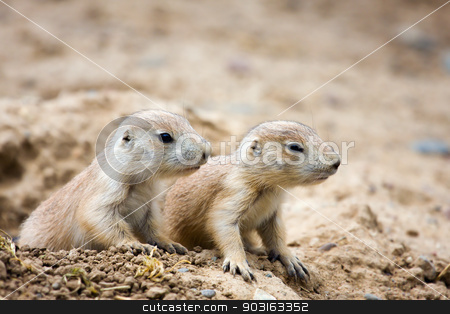 Prairie Dogs stock photo, A couple of Prairie Dogs standing guard. by Joseph Fuller