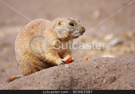 Prairie dog eating stock photo, Prairie dog eating a carrot for lunch. by Joseph Fuller