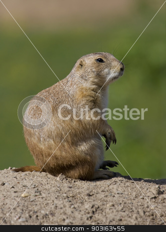 Prairie Dog stock photo, Prairie Dog sits and watches at full alert. by Joseph Fuller