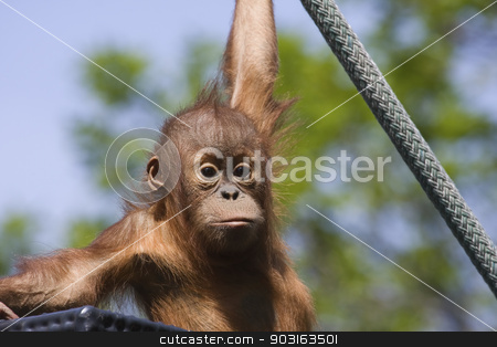 Baby Orangutan stock photo, Baby Orangutan out for its daily exercise, climbing on a rope. by Joseph Fuller
