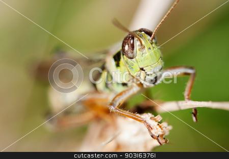 Close-up of a Grasshopper stock photo, Close-up of a Grasshopper standing on a flower stem. by Joseph Fuller