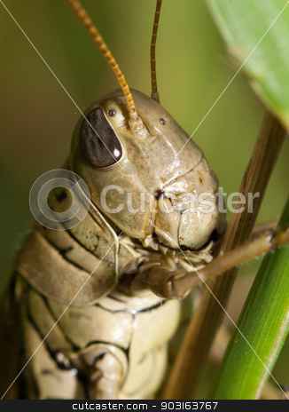 Close-up of a Grasshopper stock photo, Close-up of a Grasshopper standing on a blade of grass. by Joseph Fuller