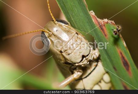 Close-up of a Grasshopper stock photo, Close-up of a Grasshopper standing on a blade of grass. by Joseph Fuller
