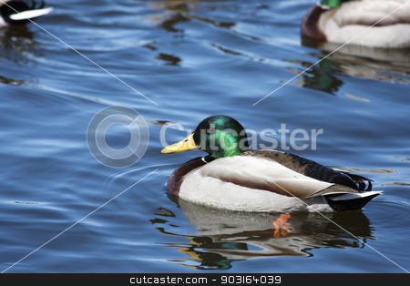 Male Mallard Swimming stock photo, Male Mallard Swimming slowly in a local pond. by Joseph Fuller
