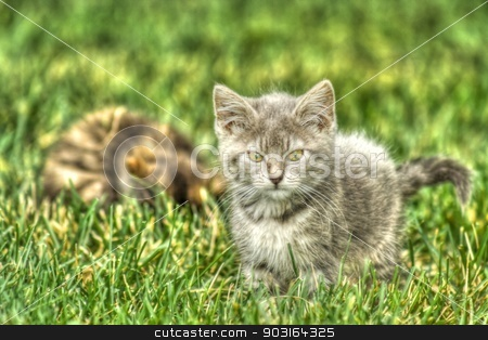 Kitten Playing in the Grass in High Dynamic Range stock photo, Little gray Kitten Playing in the Grass in hdr. by Joseph Fuller