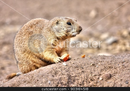 Prairie dog eating in High Dynamic Range hdr stock photo, Prairie dog eating a carrot for lunch in High Dynamic Range hdr by Joseph Fuller