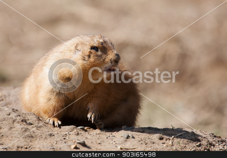Prairie dog stock photo, Prairie dog on a rock looking into the camera. by Joseph Fuller