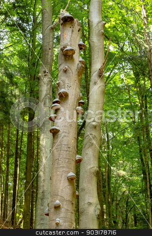 Polyporus Growth on a Tree stock photo, Polyporus squamosus mushrooms growing on a dead tree in the forest , Doubrava valley, Czech Republic by Artush