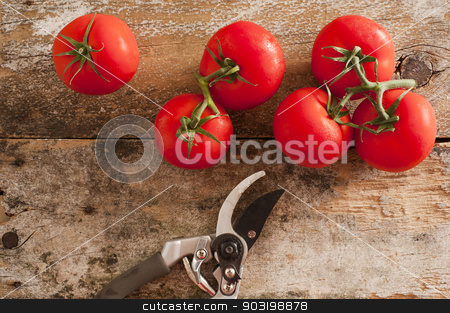 Garden fresh tomatoes with pruning shears stock photo, Garden fresh ripe red tomatoes picked from the vine lying on an old rustic wooden table with pruning shears or secateurs, overhead view by Stephen Gibson