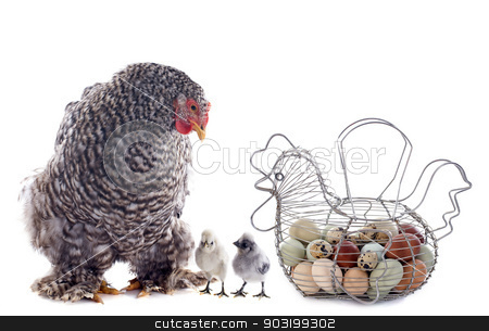 eggs basket, chicken and chick stock photo, eggs basket chicken and chick in front of white background by Bonzami Emmanuelle