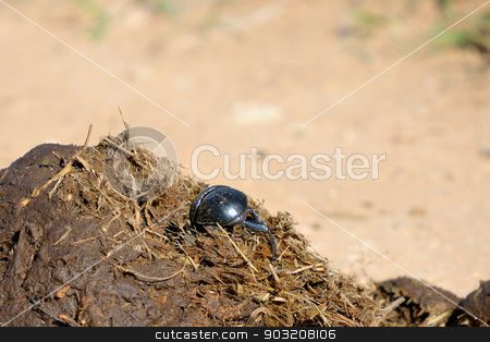 Flightless Dung Beetle stock photo, Flightless Dung Beetle on elephant dung in the Addo Elephant National Park, South Africa.  by Grobler du Preez