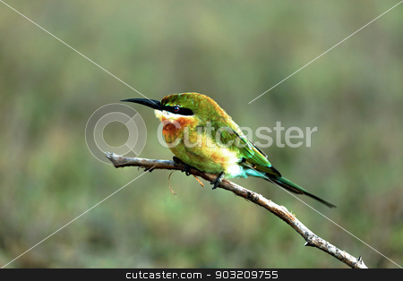 green bee-eater stock photo, A green bee-eater sitting on a branch by cometstock