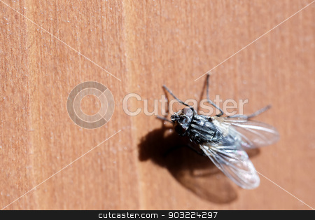 House fly sits on wooden desk stock photo, small ugly house fly sits on wooden desk outdoor by Artush