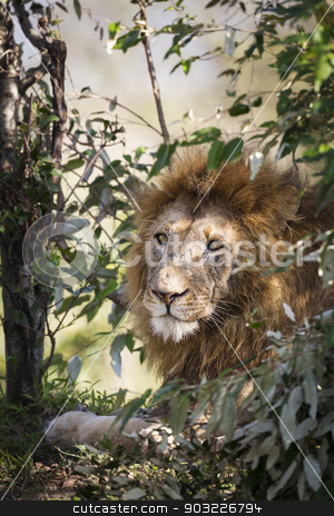 Male Lion stock photo, Male lion, Maasai Mara National Reserve, Kenya, East Africa by mdphot