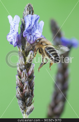 Flying Bee stock photo, Bee Sucking Lavander  by Aitormmfoto