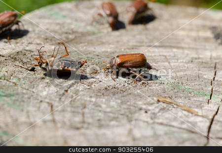 cracked stump edge crawling beetles spread wings  stock photo, old cracked stump edge crawling beetles spread their wings trying to get up in the air  by sauletas