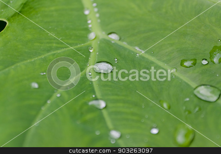 Water drops on leaves. stock photo, Water drops on leaves. by nikky1972
