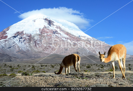 Vicugna. stratovolcano Chimborazo, Cordillera Occidental, Andes, stock photo, Vicuña (Vicugna vicugna) or vicugna is wild South American camelid, which live in the high alpine areas of the Andes. It is a relative of the llama. It is understood that the Inca valued vicuñas for their wool. The vicuña is the national animal of Peru and Bolivia. The photo was taken on the road through the Andes near the inactive stratovolcano Chimborazo, in the Cordillera Occidental of the Andes of central Ecuador. by xura