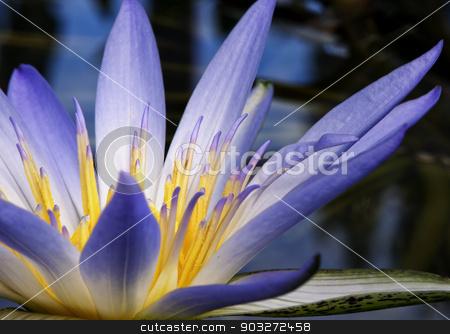 Amazon Water Lily stock photo, Beautiful purple Amazon Waterlily flower  close up by thisboy