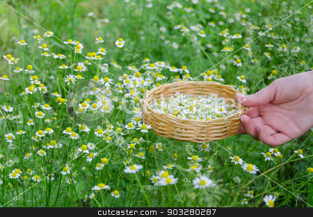 hand hold basket with chamomile on nature grass stock photo, female hand hold little wicker basket with chamomile flower on summer nature background by sauletas