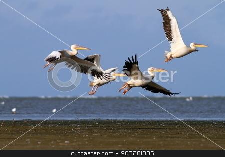 group of pelecanus onocrotalus in air stock photo, group of great pelicans ( pelecanus onocrotalus ) in air in Danube Delta, Sahalin, Romania by coroiu octavian