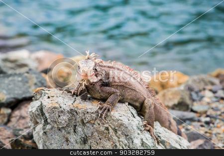 Iguana on Rocks Looking at Camera stock photo, An iguana on rocks at the edge of the sea by Darryl Brooks