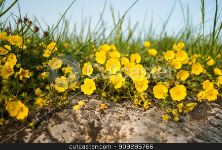 little yellow flowers stock photo, flowerbed of little yellow flowers by Karol Czinege